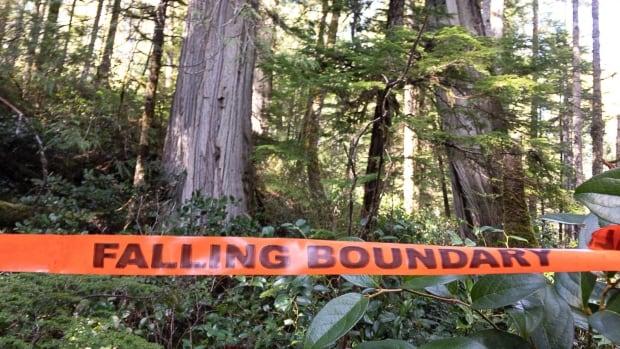 Wat u moet weten over oude bomen in British Columbia – en de bedreigingen waarmee ze worden geconfronteerd